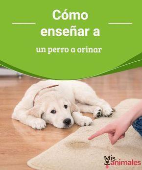 Cómo Enseñar A Un Perro A Orinar Adiestramiento Perros Orina De Perro Perros