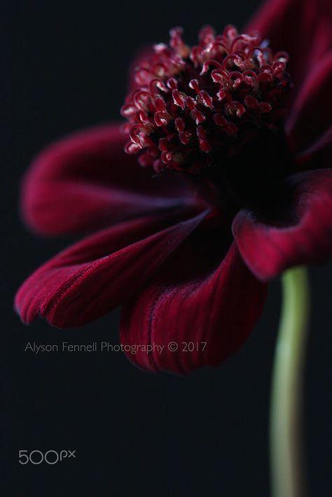Chocolate Cosmos Flower.
