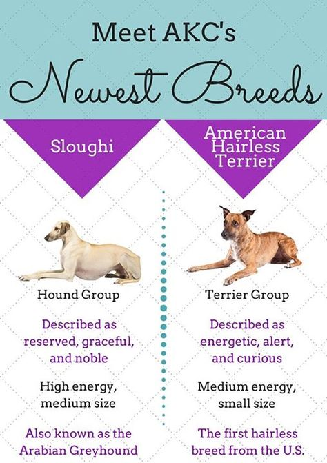 2 New Dog Breeds Recognized By American Kennel Club Greyhound