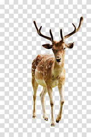 Red Deer Elk Reindeer White Tailed Deer Deer Transparent Background Png Clipart Whitetail Deer Deer Illustration Moose Illustration