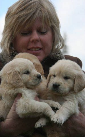 Mohr Over Kennels Golden Retrievers And Miniature Goldendoodles Golden Retriever Goldendoodle Retriever