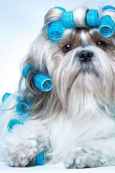 Shih Tzu Dog Names Shihtzu China Populardognames Shih Tzu