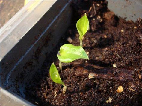 How To Grow Cardamom From Grocery Store Cardamom Seeds Hunker Cardamom Plant Growing Food Grow Organic