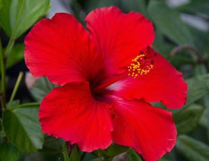 Live Red Hibiscus Flower Plant One Plant With Images Container