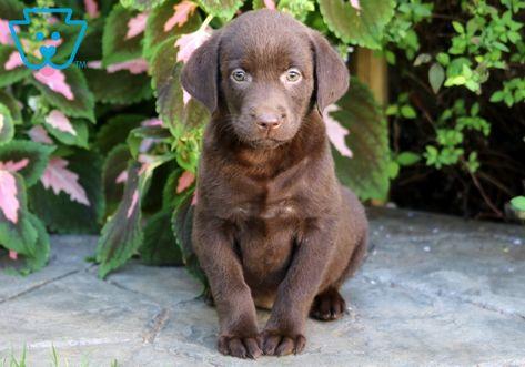 Muffin Labrador Retriever Labrador Puppies For Sale