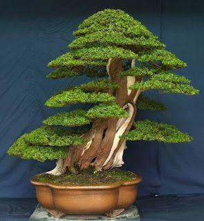 50 Best Bonsai Indoor Trees Ideas For Indoor Decorations Bonsai Klasik Bonsai Tree Plants Bonsai Art