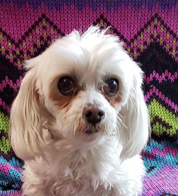 New York Ny Maltese Meet Sada Foster Needed A Pet For Adoption Pet Adoption Pets