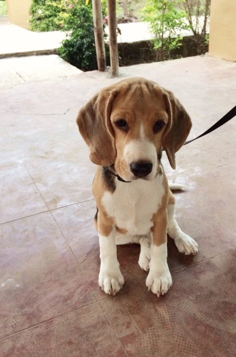Beagles Big Surprise In A Small Package Beagle Puppy Dog