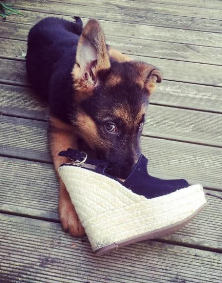Ready For The Ultimate Collection Of Baby German Shepherds Dog