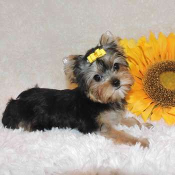 Teacup Yorkshire Terrier Pup Yorkshire Terrier Puppies Yorkie