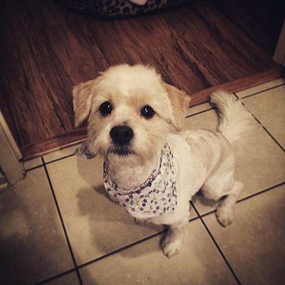 Studio City Ca Bichon Frise Meet Luna A Dog For Adoption