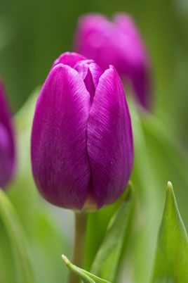 Tulipa Purple Flag 3 Tulip Purple Flag Rhs Gardening Tulip Flower Pictures Tulips Flowers Purple Tulips