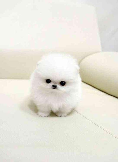 United States : Micro Teacup Pomeranian Puppies For Adoption Pomeranians