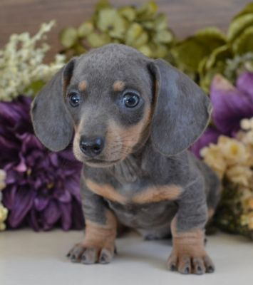 Blue Dachshund Puppies How Precious Look At That Puppy Face 3 Dog Dogmom Dogs Puppy Puppie Blue Dachshund Dachshund Puppies Dachshund Puppies For Sale