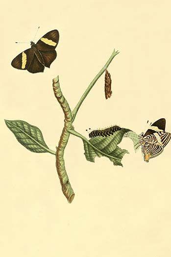 Surinam Butterflies Moths Caterpillars By Jan Sepp 56 Art Print Postercrazed In 2020 Moth Caterpillar Graphic Art Print Graphic Art