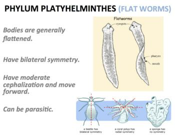 nematode annelida platyhelminthes