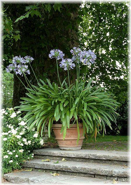 Bildergebnis Fur Schmucklilie Garten Bepflanzung Garten Ideen