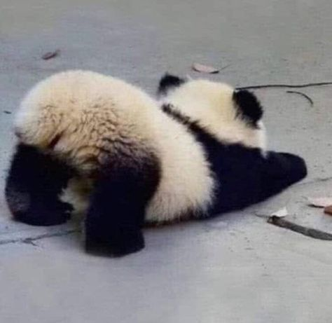 Baby Animal Videos, Cat And Dog Videos, Baby Animals Pictures, Cute Baby Animals, Funny Animals, Funniest Animals, Baby Panda Pictures, Niedlicher Panda, Panda Funny