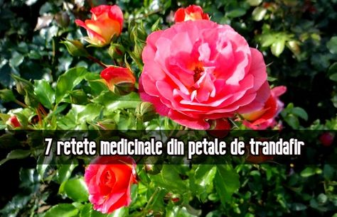 șolduri de trandafir pentru tratamentul articulațiilor)