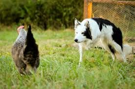 Collie Dog Three Legged Google Search With Images Border