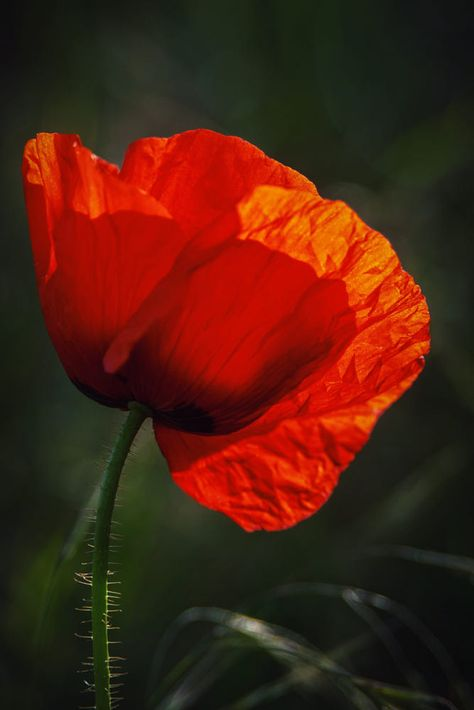 *** Poppy Beauty *** by Franz Engels on 500px