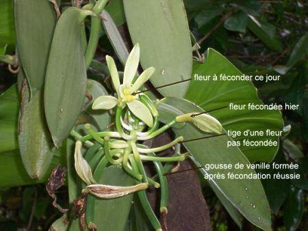La Réunion Fécondation De La Vanille Fécondation Fleur De Vanille Feuilles De Plantes