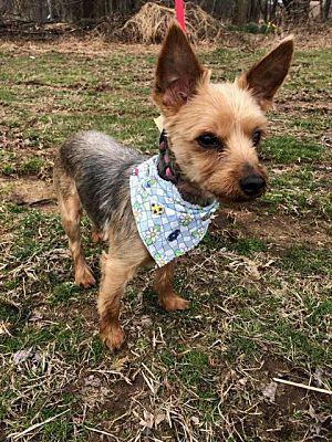 Linden Nj Yorkie Yorkshire Terrier Meet Brooklyn A Pet For Adoption Yorkshire Terrier Yorkie Terrier