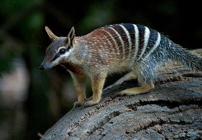 Numbat Animals Australian Animals Numbat