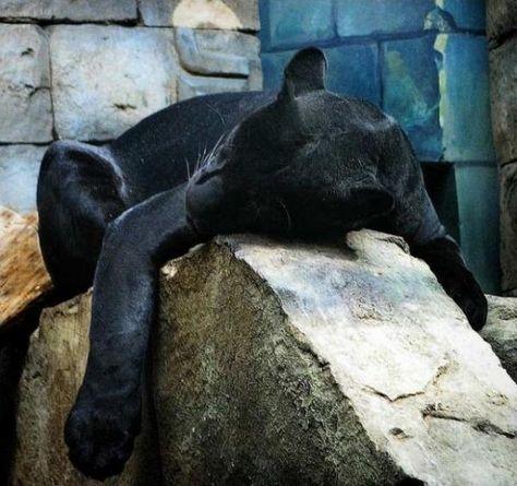Sleepy Puma