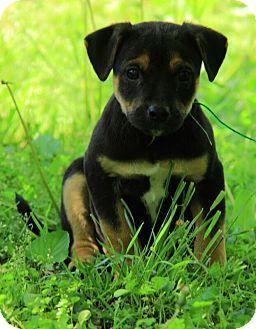German Shepherd X Jack Russell Terrier Mix With Images Pitbull Terrier Terrier Mix Dogs And Puppies