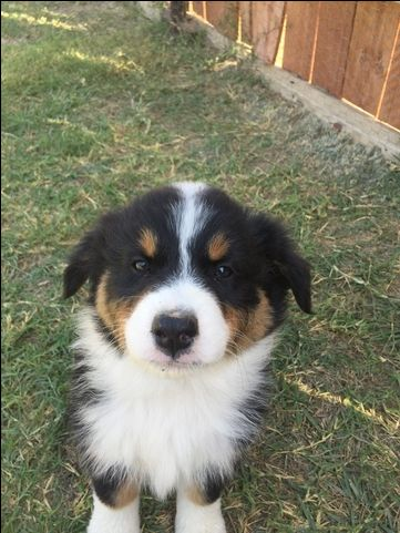 Australian Shepherd Puppy For Sale In Bakersfield Ca Adn 45350