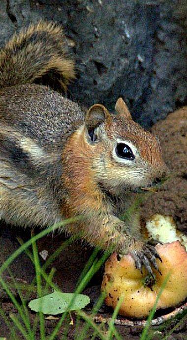 Golden Mantled Ground Squirrel Ground Squirrel Squirrel Squirrel Species