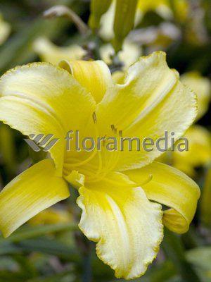 Liliowiec Mary Todd Hemerocallis Byliny K N Florini Pl Flowers Garden Photos Plants