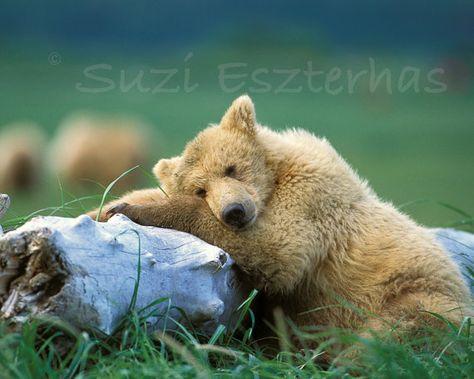SLEEPY BEAR Photo - 8 X 10 Print - Animal Photograph, Wildlife Photography, Wall Decor, Nursery Art, Brown, Grizzly, Kids Room, Green via Etsy - she has so many baby bear photos that are AMAZING!