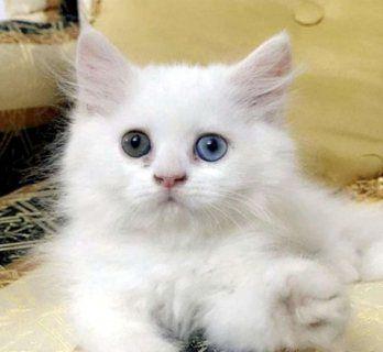 قطط راغدول للبيع Ragdoll Kitten العمر 40 يوم عجمان 111202 Kitten Cats Animals