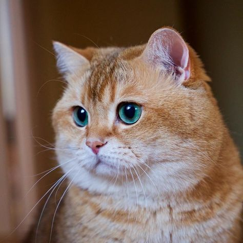 Best ANIMAIS Images On Pinterest Boots Html And Instagram - Hosico the cat is pretty much the real life puss in boots