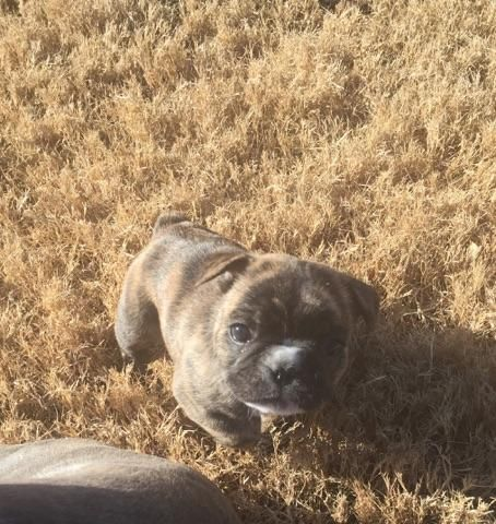 French Bulldog Puppy For Sale In Lubbock Tx Adn 63962 On