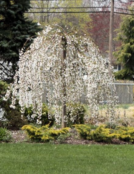 64 Ideas Weeping Cherry Tree Painting Front Yards Weeping Cherry Tree Trees To Plant Japanese Garden