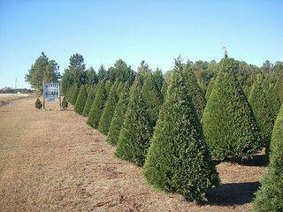 Christmas Tree Farming In 2020 Christmas Tree Farm Christmas Farm Tree Farms