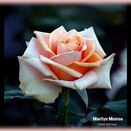 Marilyn Monroe Hybrid Tea Roses Tea Roses Rose Cuttings