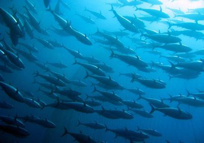 Tuna Plenty In California Current Where Surface Waters Converge Not So For Salmon Albacore Tuna Species Salt Water Fish