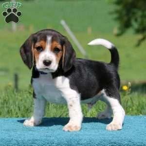 Beagle Dog Breed Information Beagle Mix Puppies Beagle Mix Lab