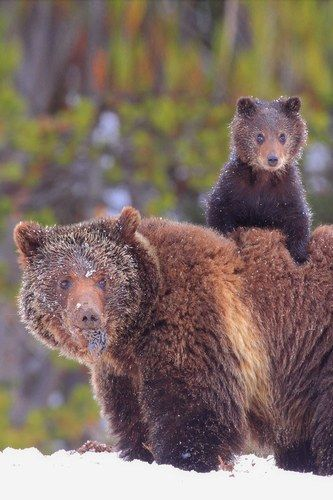 It's hard to imagine that some of these cutie-pies can actually be quite dangerous - this grizzly bear cub hitches a ride on mum's back.