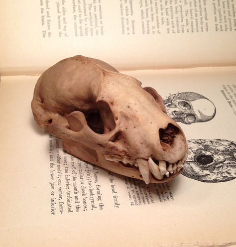 Osteo La Brea Real Natural Stained American Badger By Bonelust With Images Skull Pictures Skull And Bones Skull