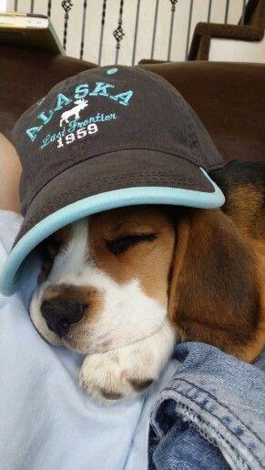 Oliver The Beagle Beagle Cute Beagles Beagle Puppy Beagle