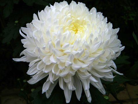 A Perfect Mum White Chrysanthemum Chrysanthemum Flower Chrysanthemum