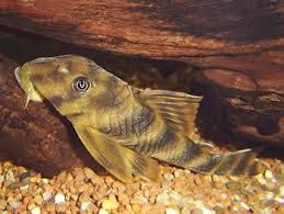Awesome Freshwater Algae Eaters In Fish Tank Candy Striped Pleco The Scientific Name For The Sweet Striped Pleco Is Peckoltia V In 2020 Fish Tank Fish Candy Stripes