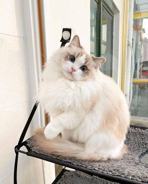 Ragdoll Kittens, Cute Cats And Kittens, Kittens Cutest, Siamese Cats, Pretty Cats, Beautiful Cats, Animals Beautiful, Kitten Baby, Baby Cats