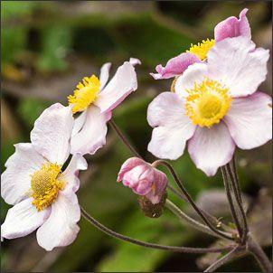 5 Invasive Perennials You May Regret Planting Deer Resistant Perennials Plants Anemone Flower