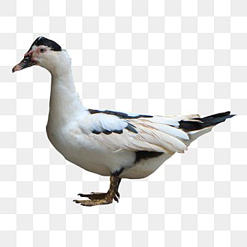 Manila Duck Side View Bird Animal Cute Png Transparent Clipart Image And Psd File For Free Download Prints For Sale Clip Art Clipart Images